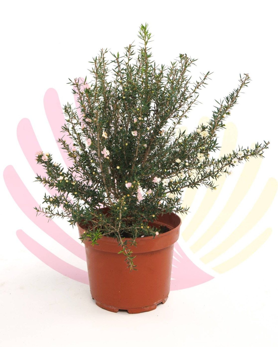 Leptospermum scoparium White